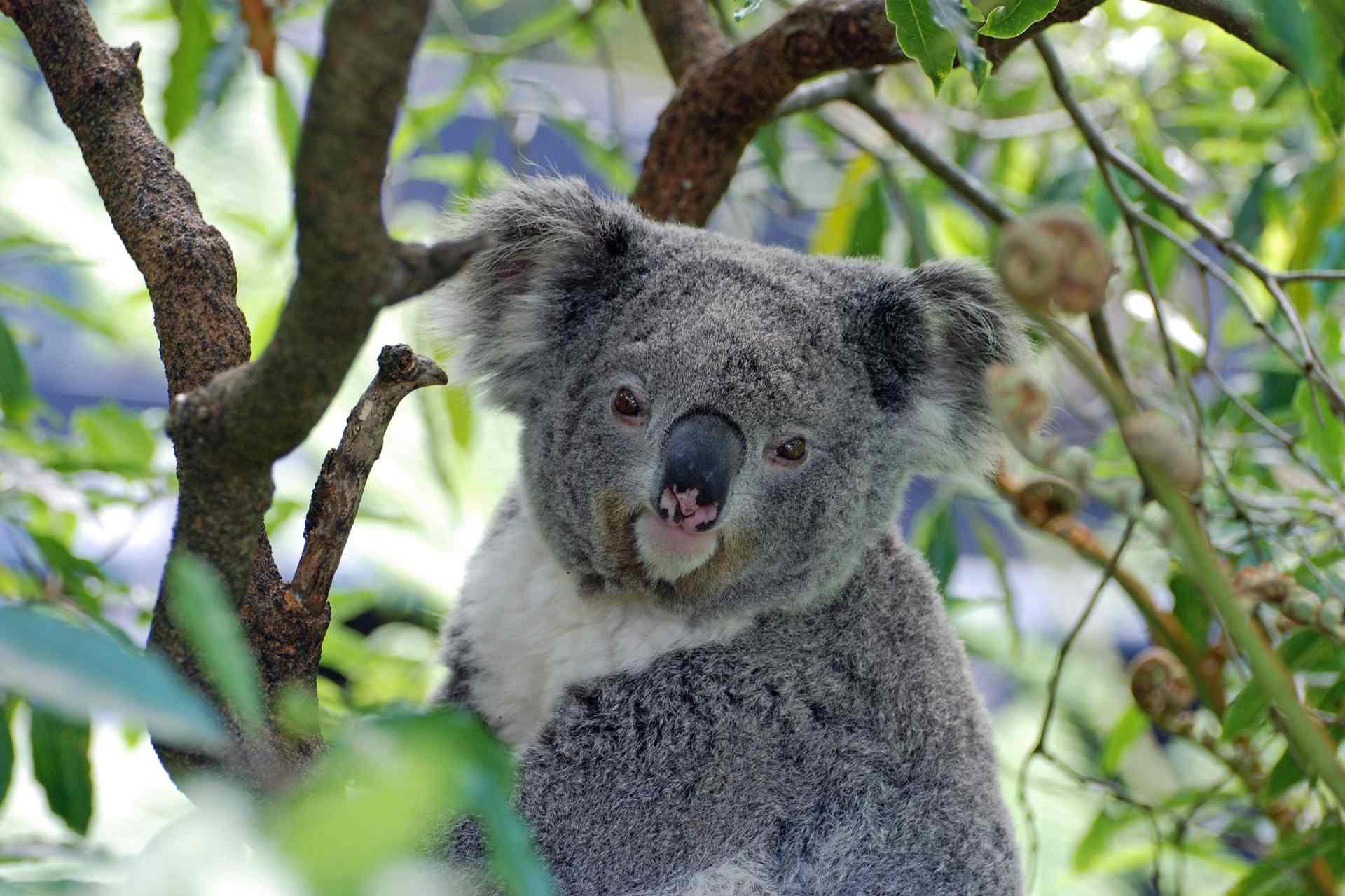 Australien Koala Bär