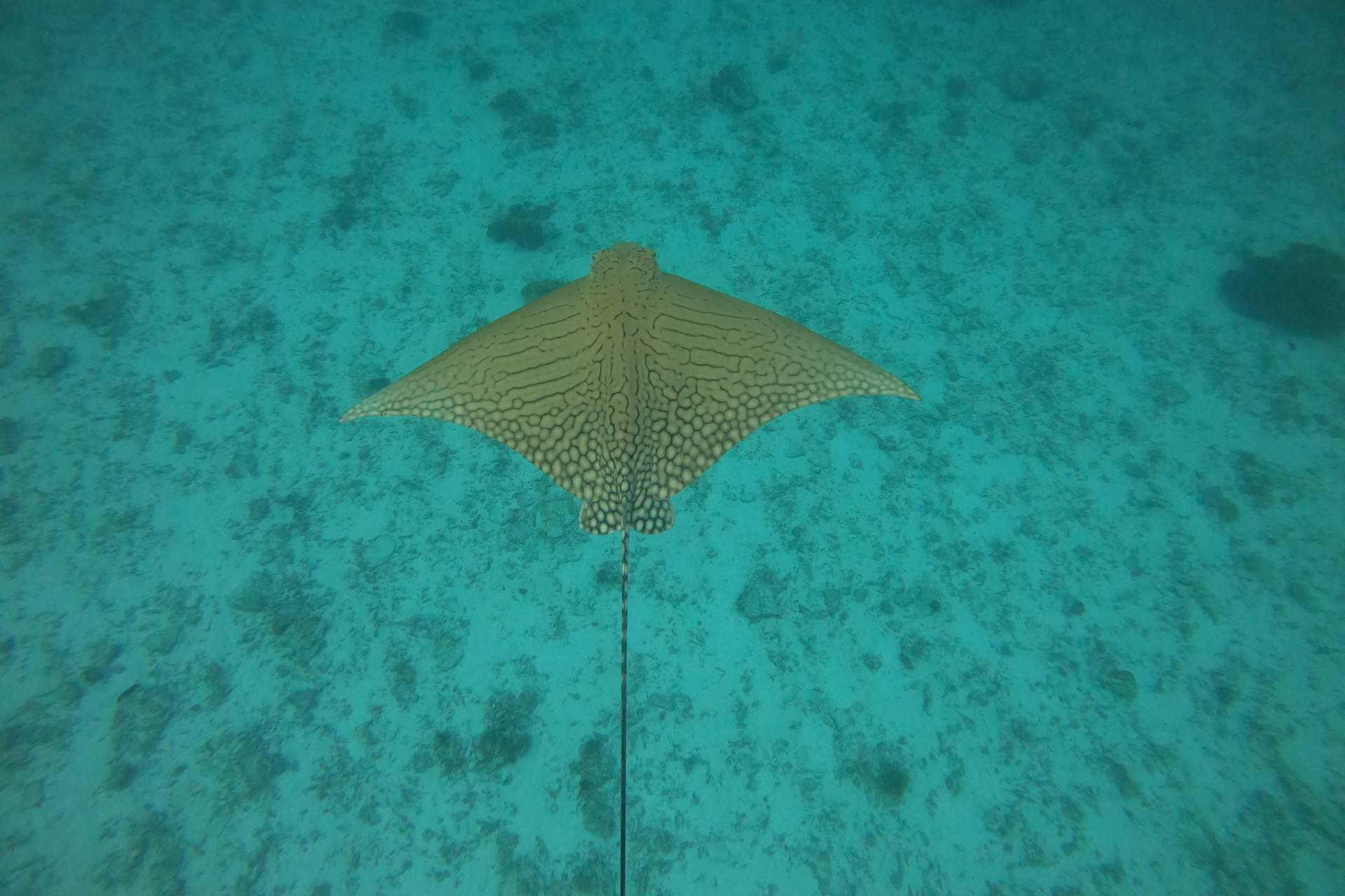 Ornate Eagle Ray Adlerrochen vor Lady Elliot Island