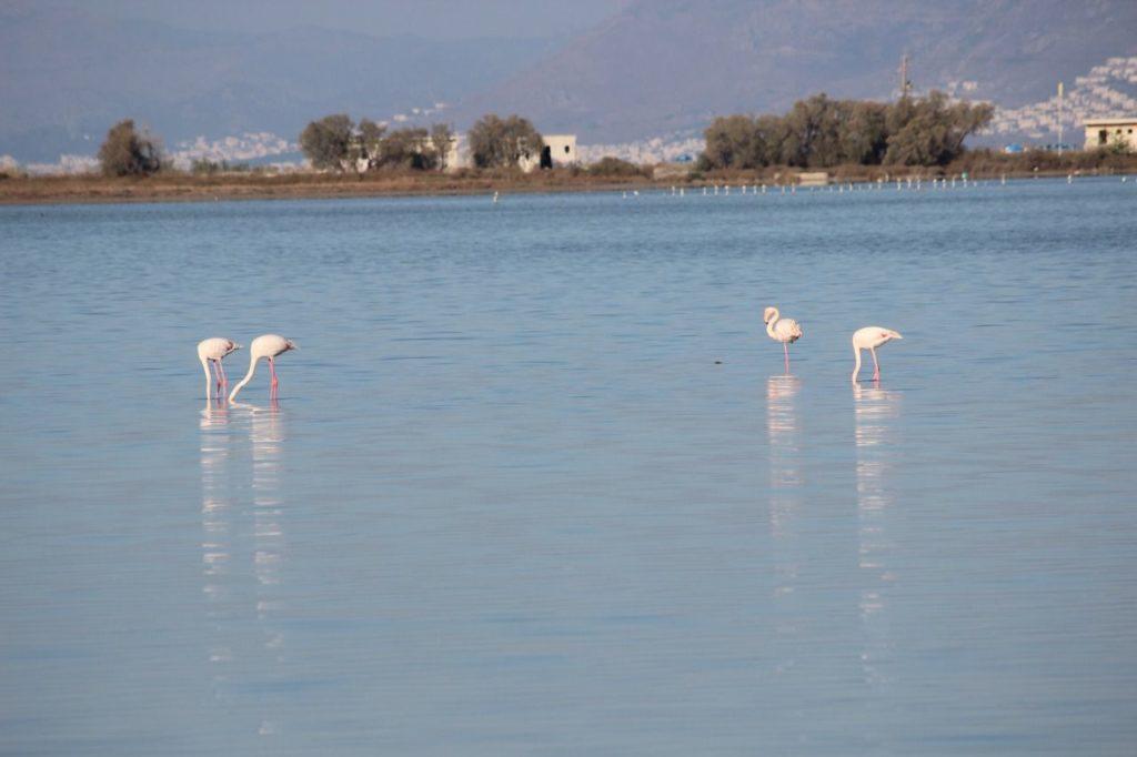 Alikes Salzsee Flamingos