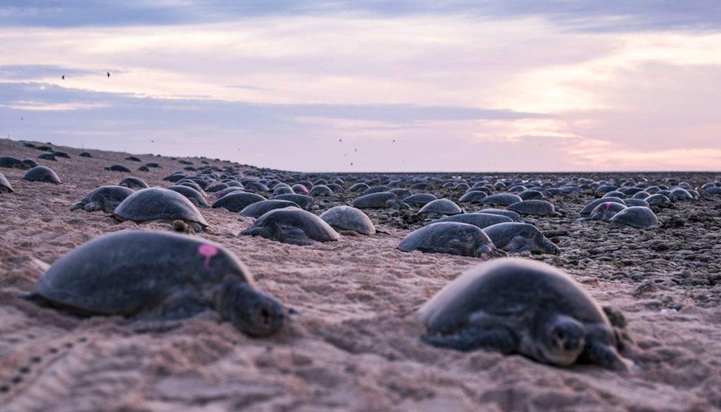 Grüne Meeresschildkröten bei der Eiablage auf Raine Island