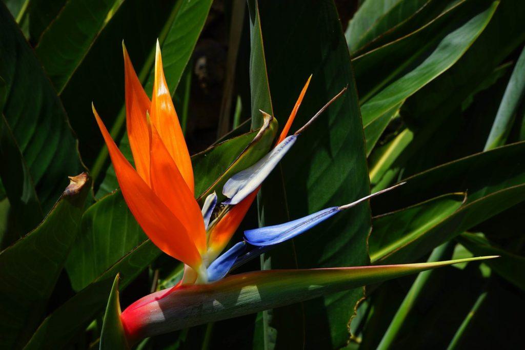 Papageienschnabel Teneriffa