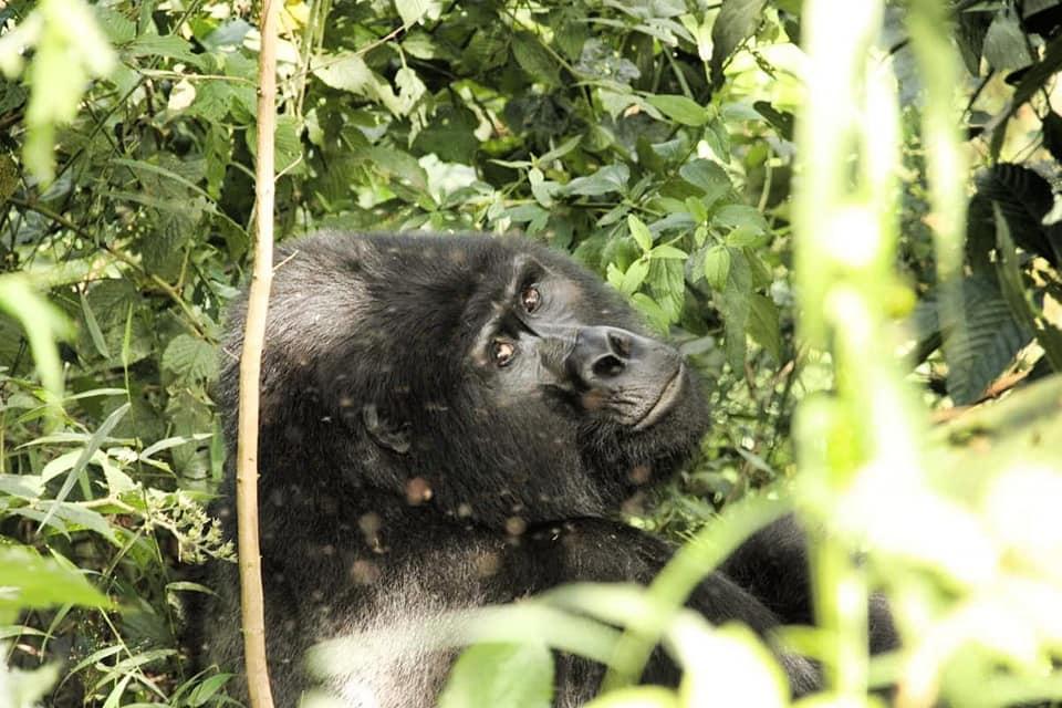 Pro Wildlife Gorilla