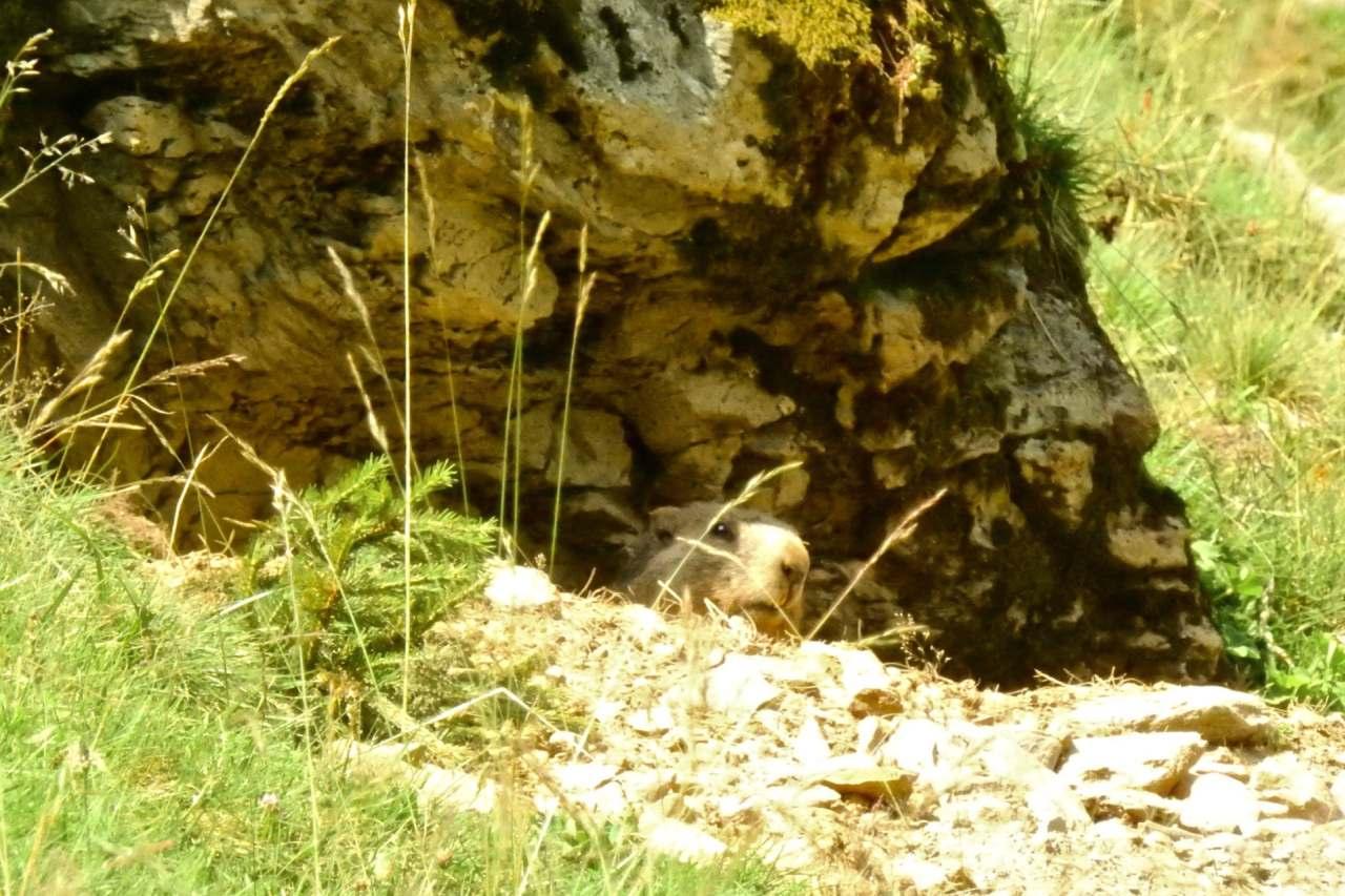 Murmeltier im Pillerseetal