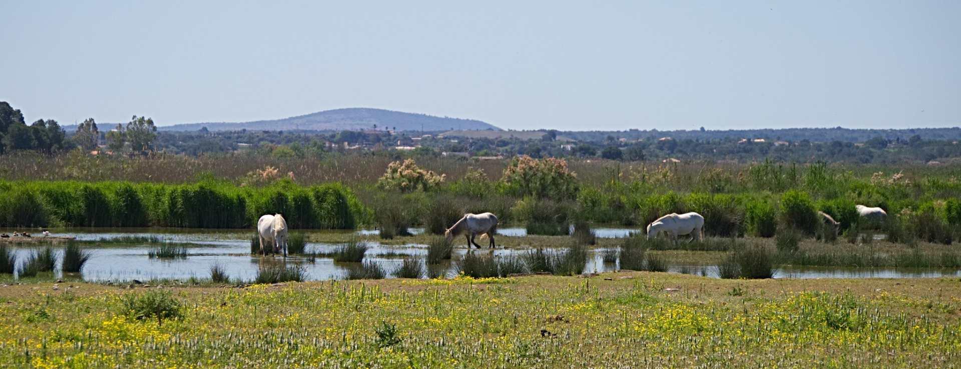Pferde im Naturpark S'Albufera auf Mallorca
