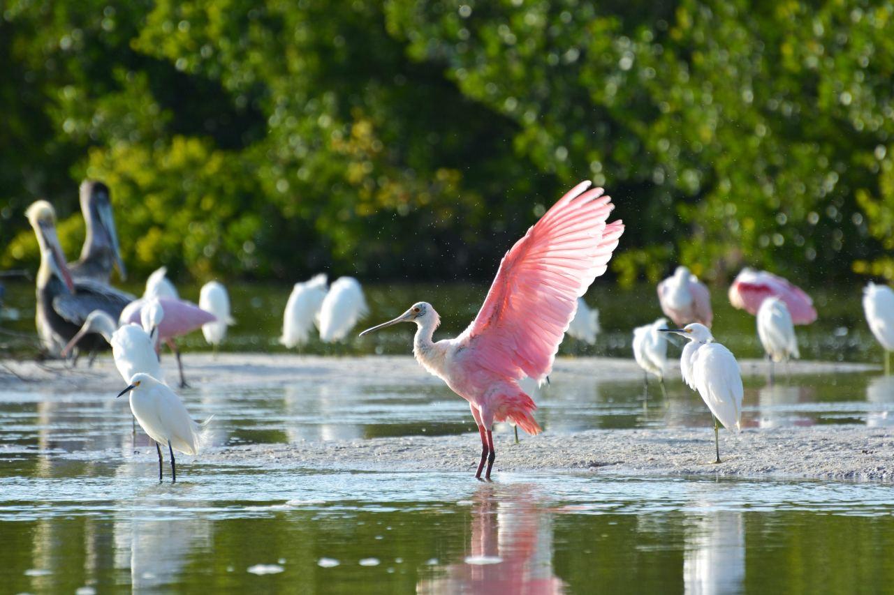Wildvögel vor Sanibel Island