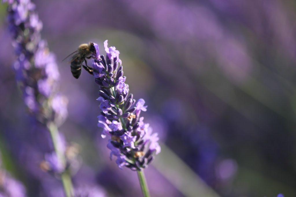 Lavendel aus dem Pays Diois