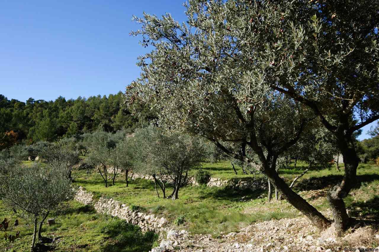 Olivenhain in der Provence