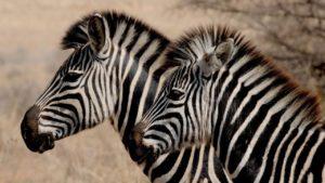 Safari Zoo Mallorca Zebras