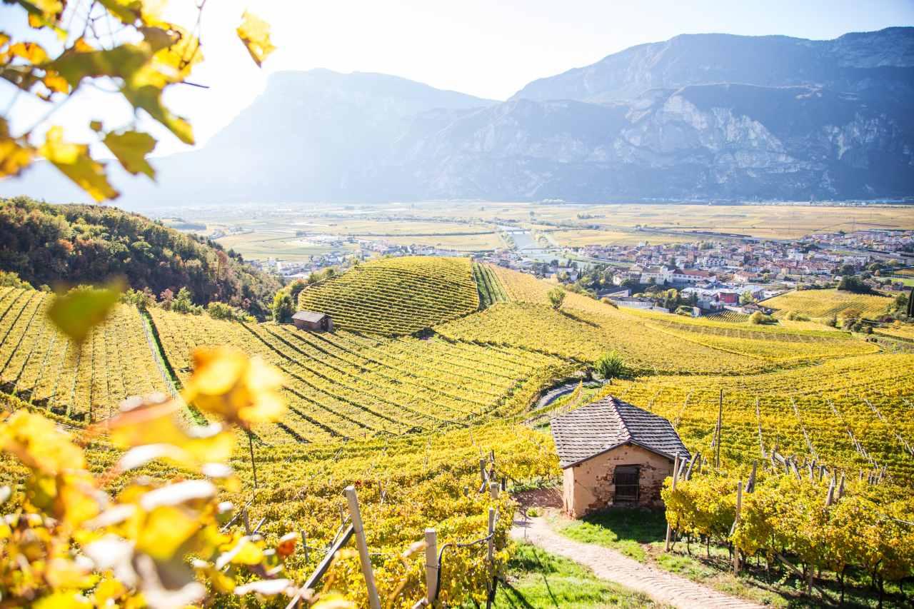 Weinberg in der Piana Rotaliana im Trentino