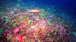 Coral Fields Korallenriff