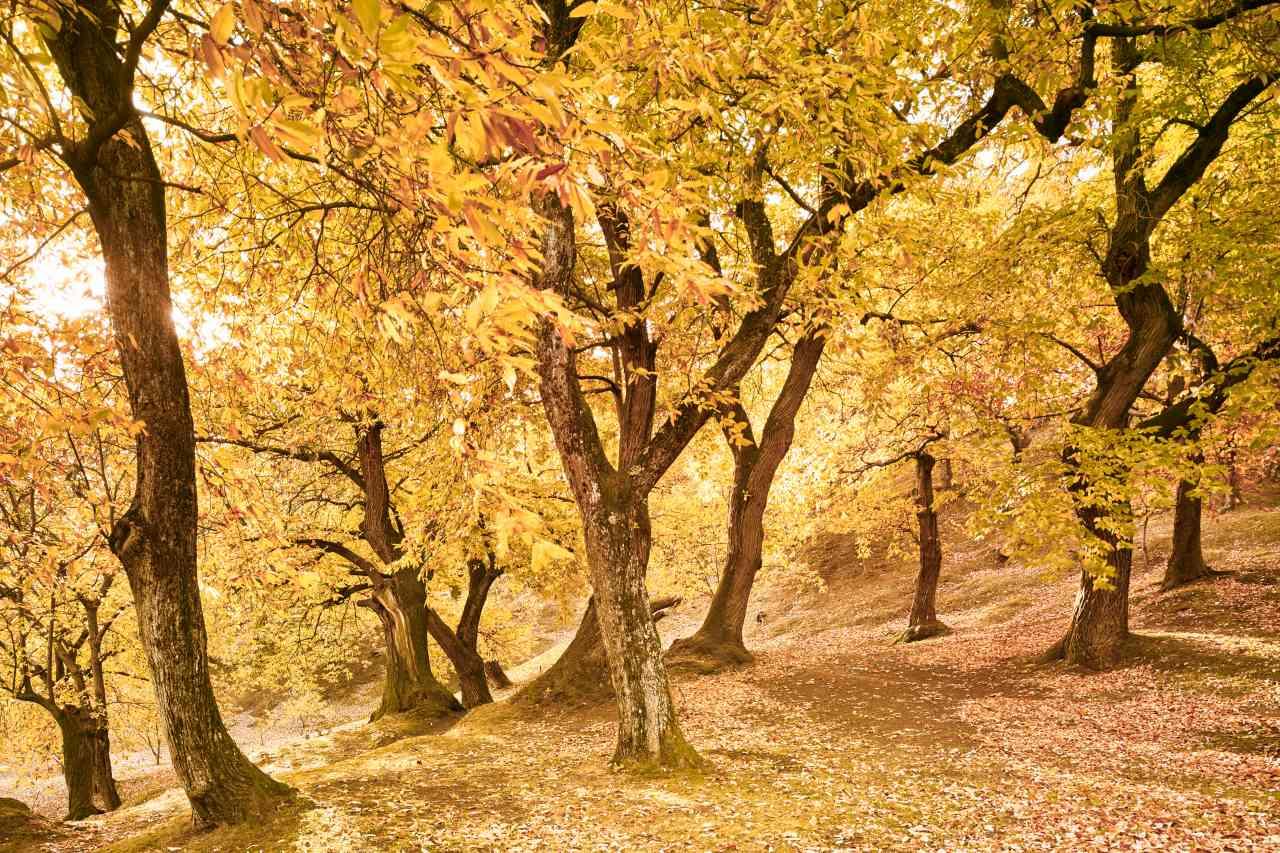 Kastanienwald bei Castione im Herbst