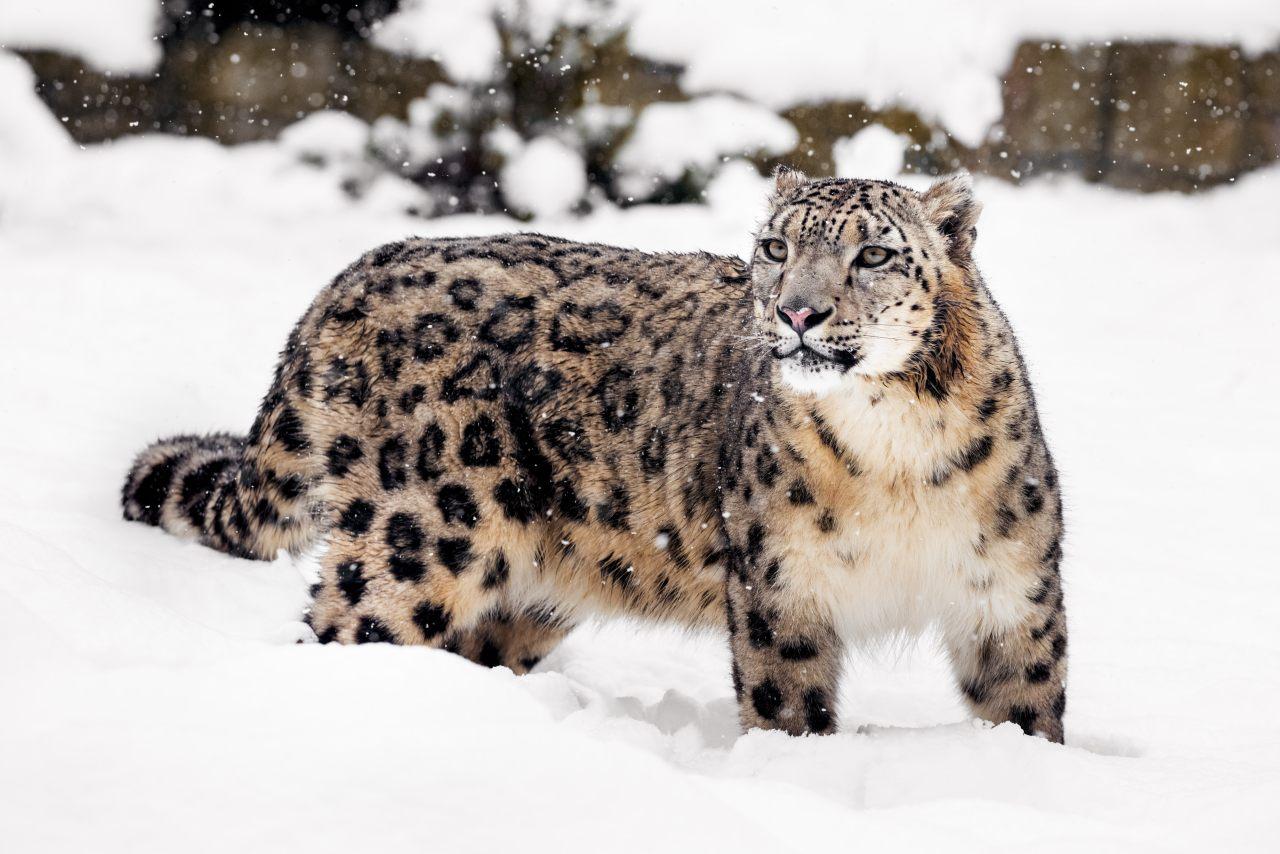 Schneeleopard in freier Wildbahn