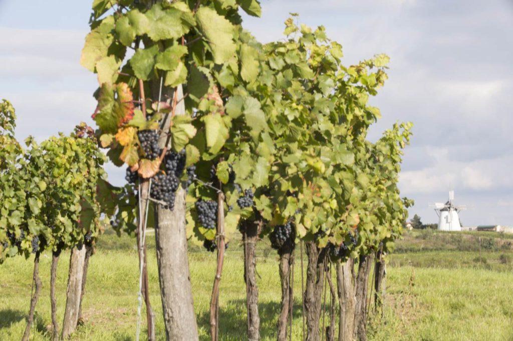 Weinstöcke im Retzer Land