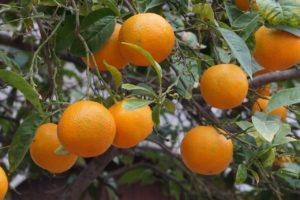 Orangenbaum Botanischer Garten Soller