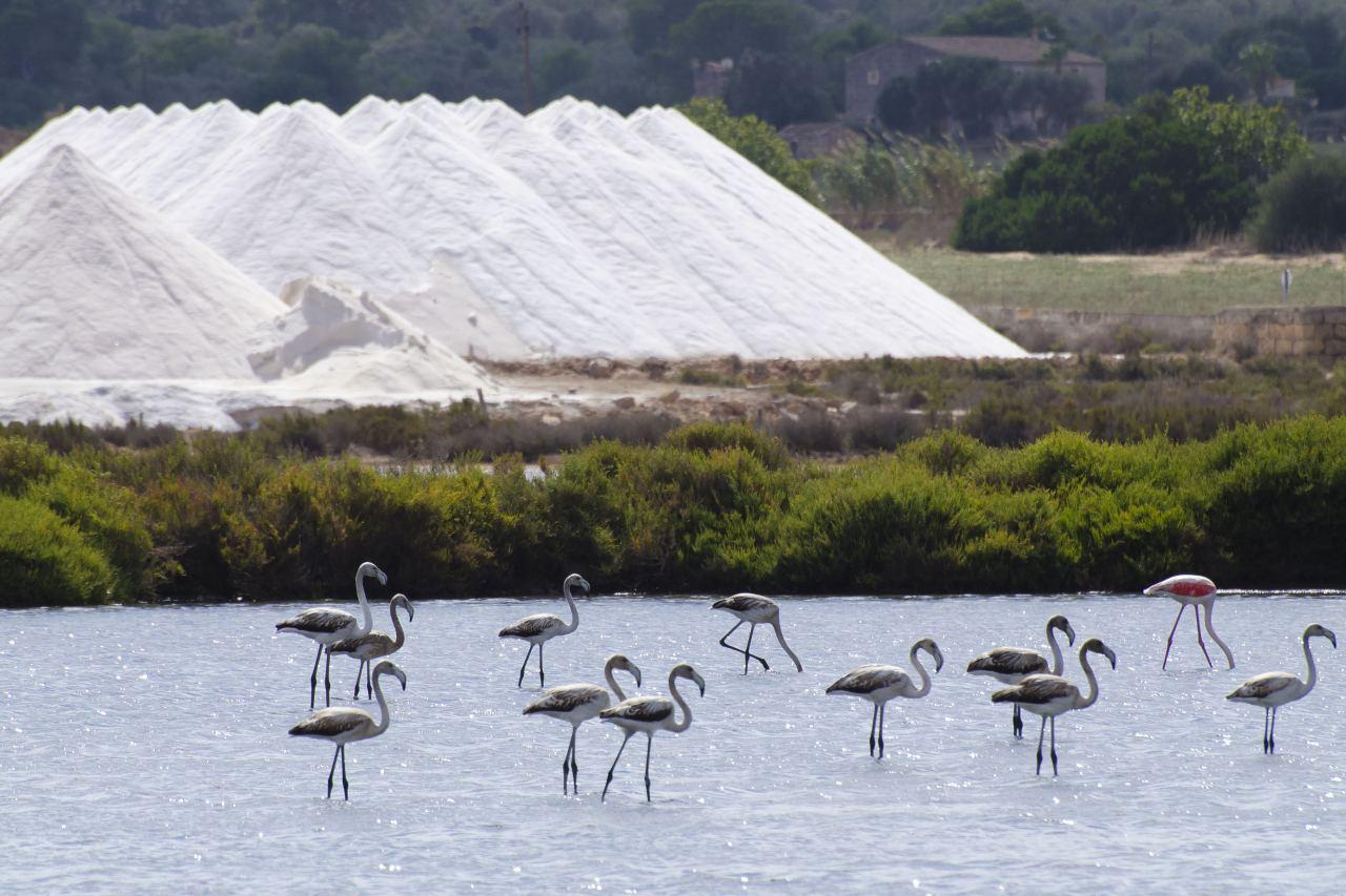 Flamingos in den Salinen von Ses Salinen auf Mallorca