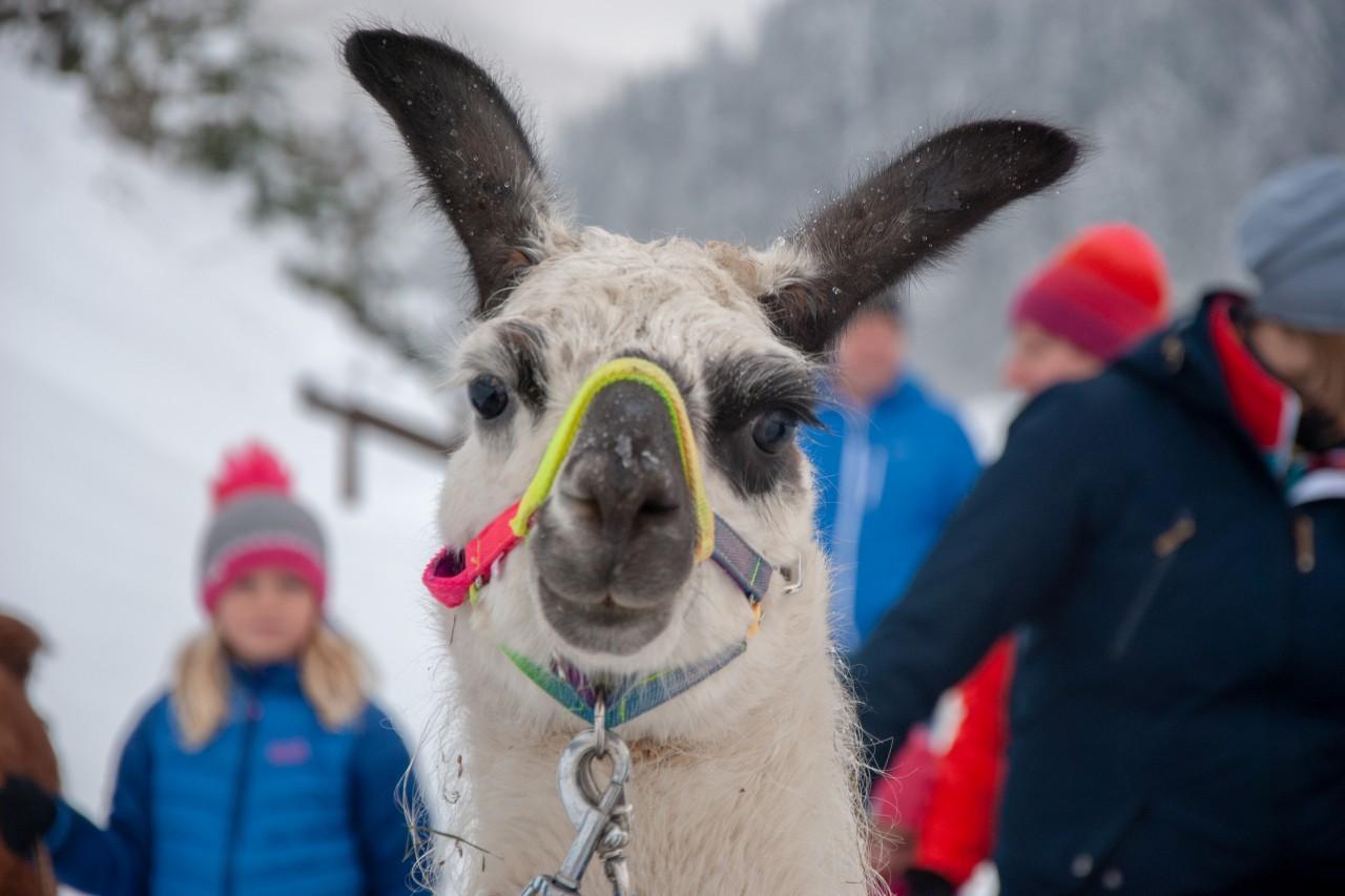 Lama in Fieberbrunn
