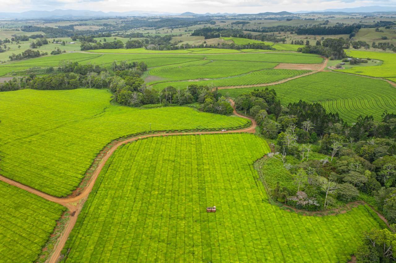 Nerada Tea Plantation in Malanda