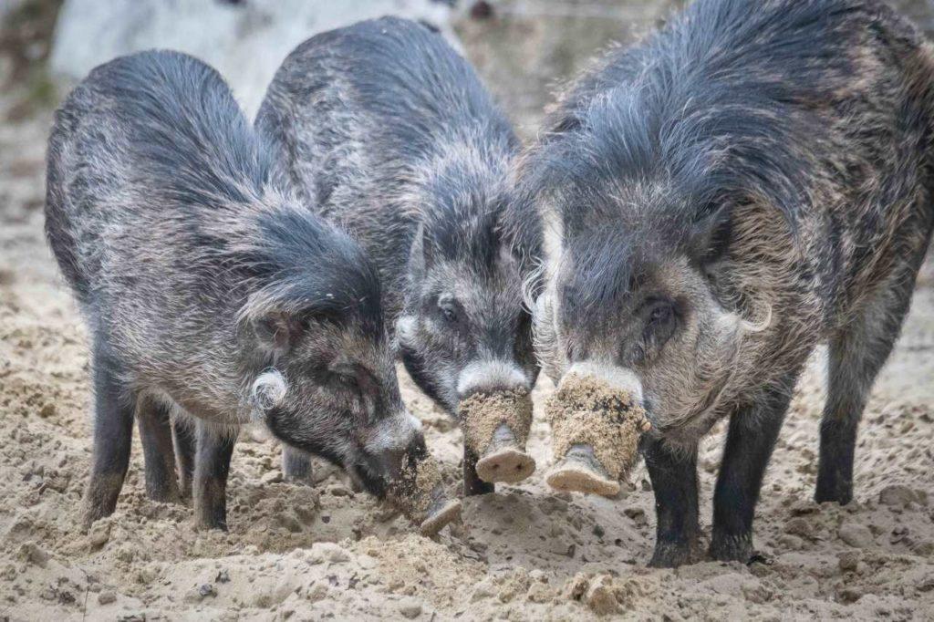 Philippinische Pustelschweine beim Wühlen