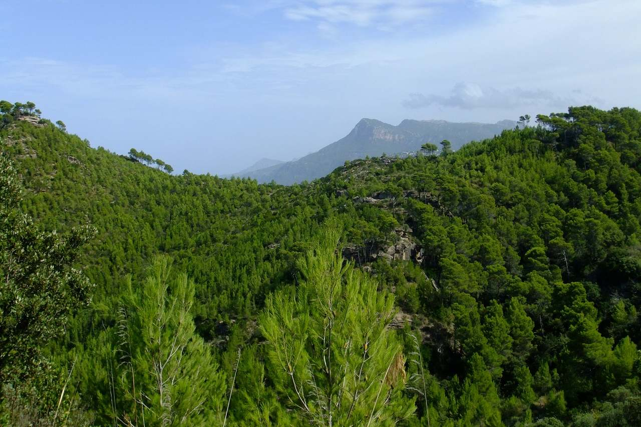 Pinienwald im Tramuntana-Gebirge