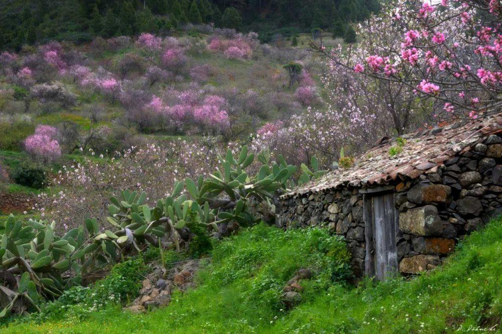 Blühende Mandelbäume in der Gemeinde Garafía