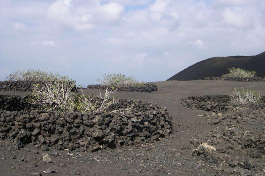 Feigenbäume auf Vulkanerde auf Lanzarote