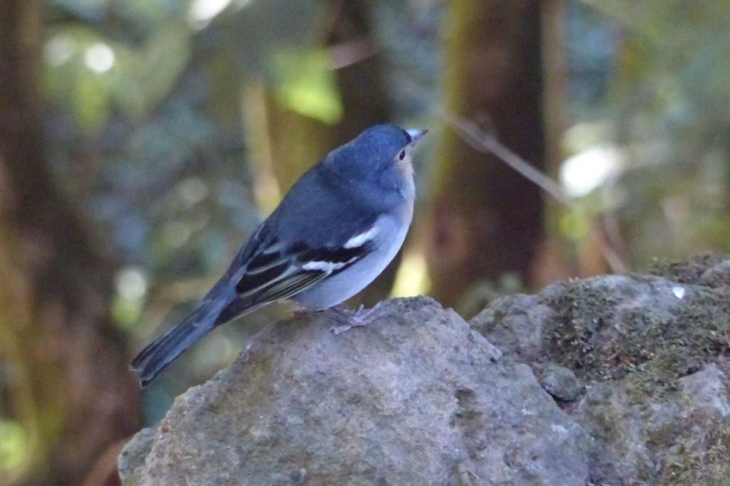 Kanarenbuchfink auf La Palma