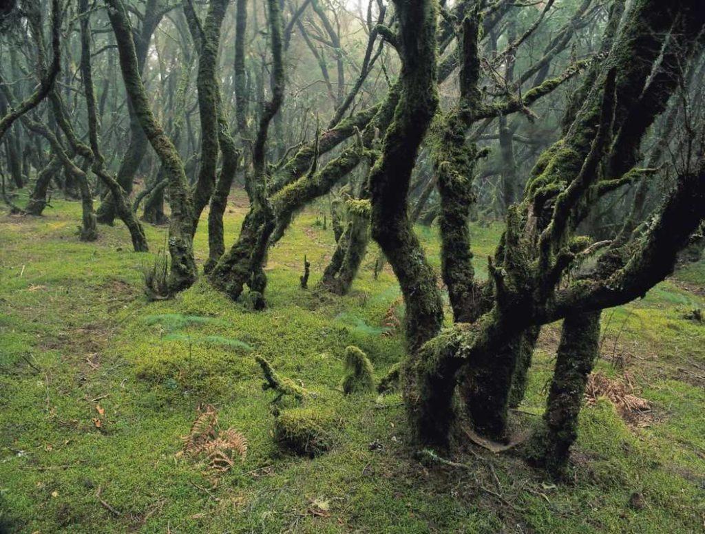 Moosbewachsene Bäume Garajonay Nationalpark