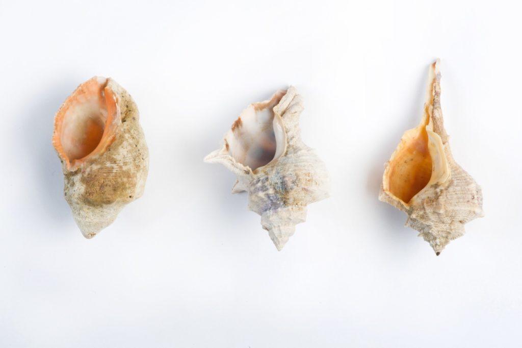 Mollusken Antike Herstellung Purpurfarbstoff