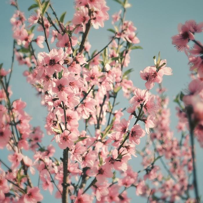 Pflaumenblüte Glück Hongkong
