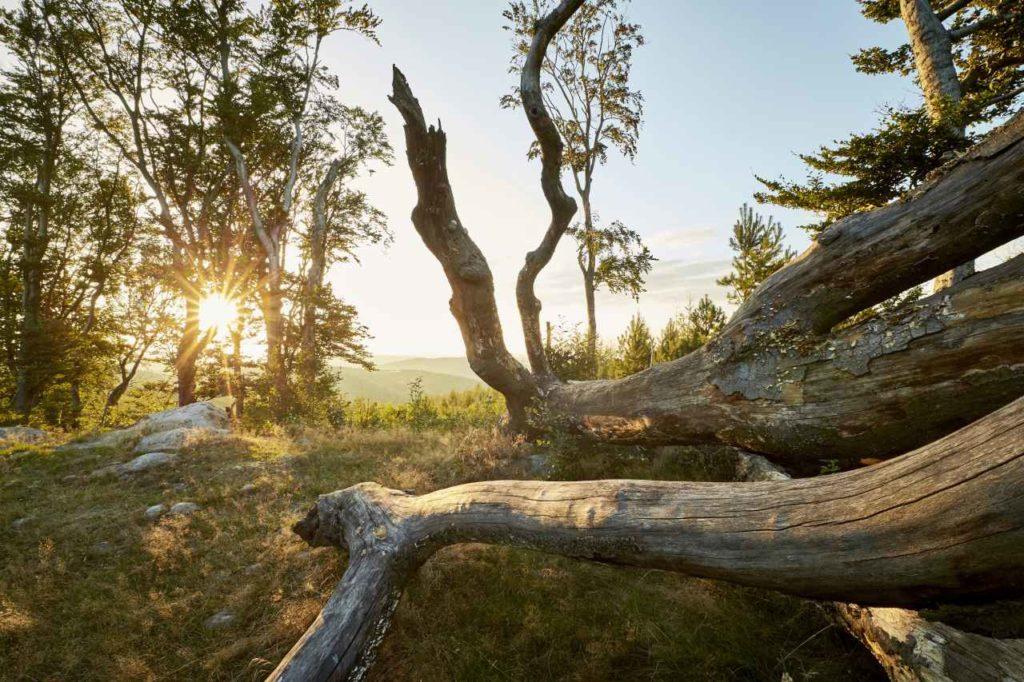 Baumstämme UNESCO Biosphärenpark Wienerwald