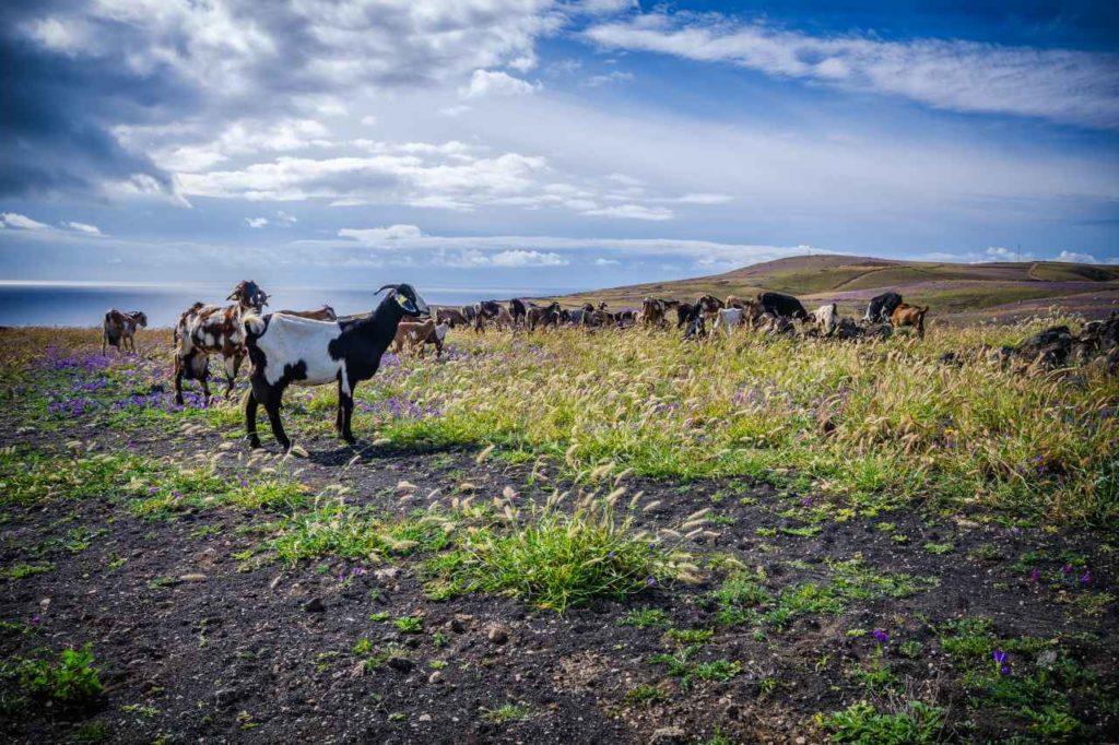 Majorera-Ziege auf Lanzarote