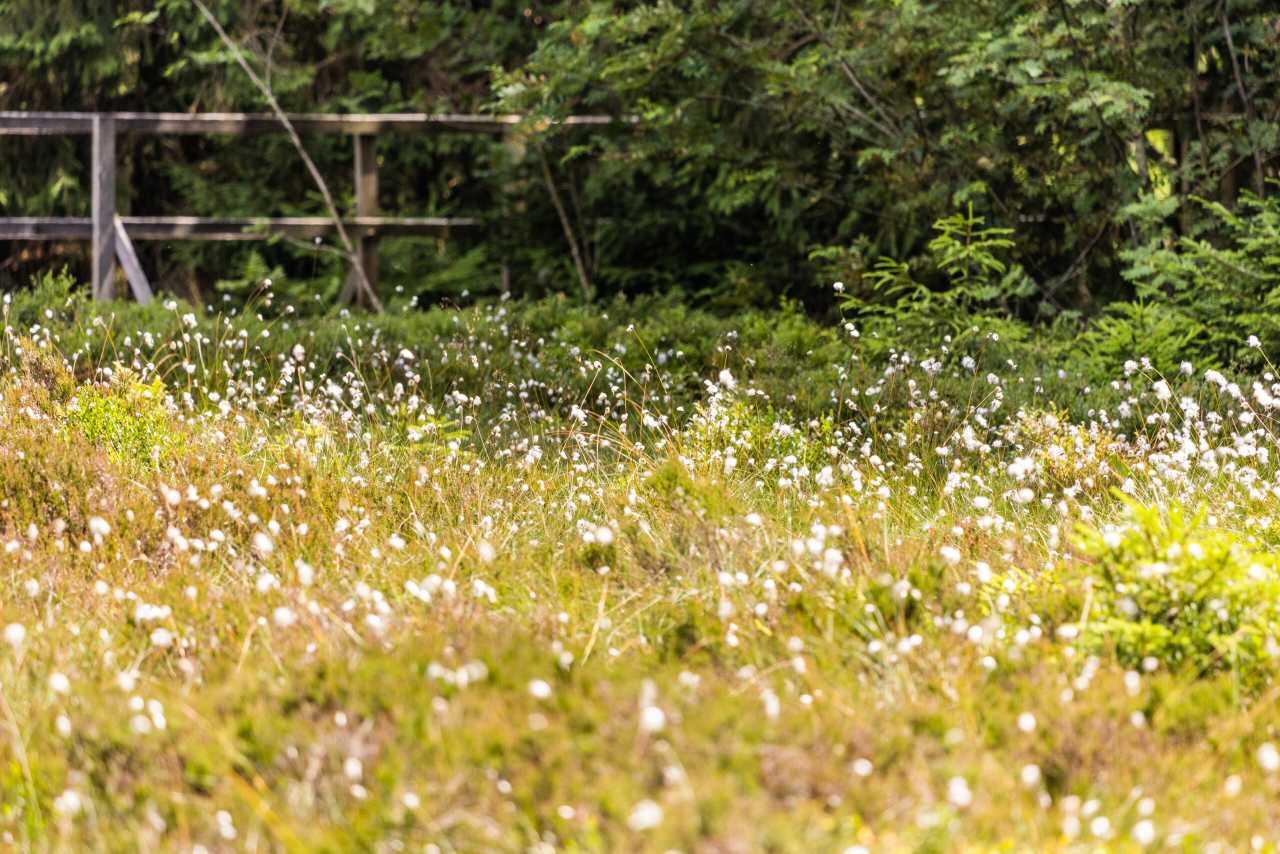 Scheiden-Wollgras Blüte Thüringer Wald