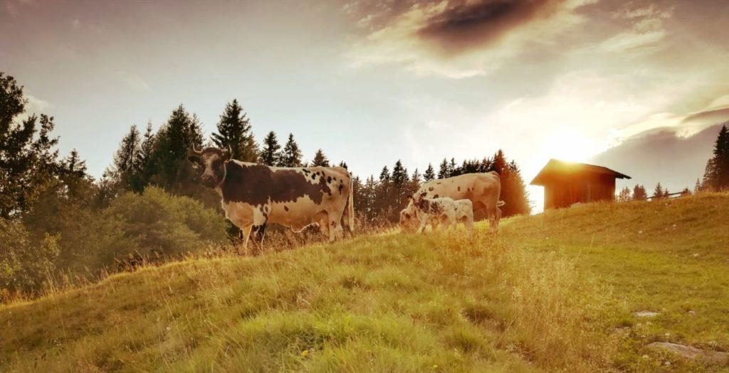Biobauernhof Langnerhof Kühe