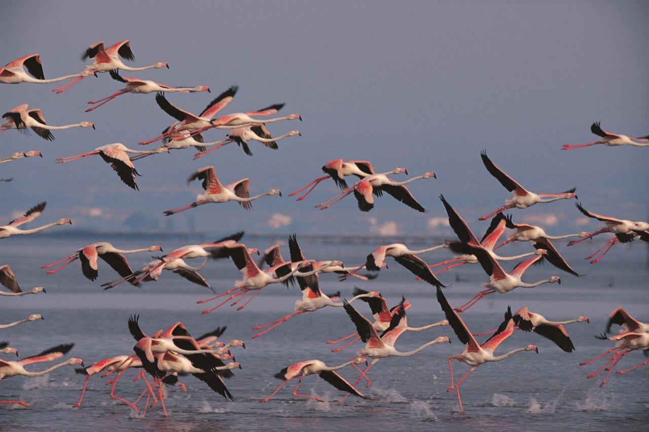 Flamingos im Ebrodelta