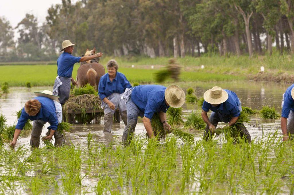 Reis pflanzen im Ebrodelta