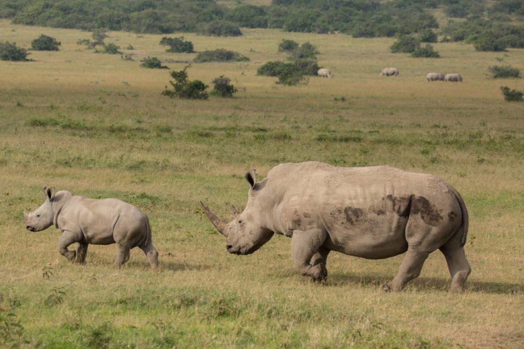 Breitmaulnashorn Muttertier und Kalb in Kenia
