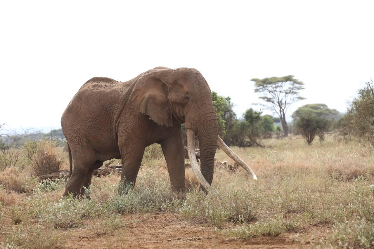 Elefantenbulle Craig Amboseli Nationalpark