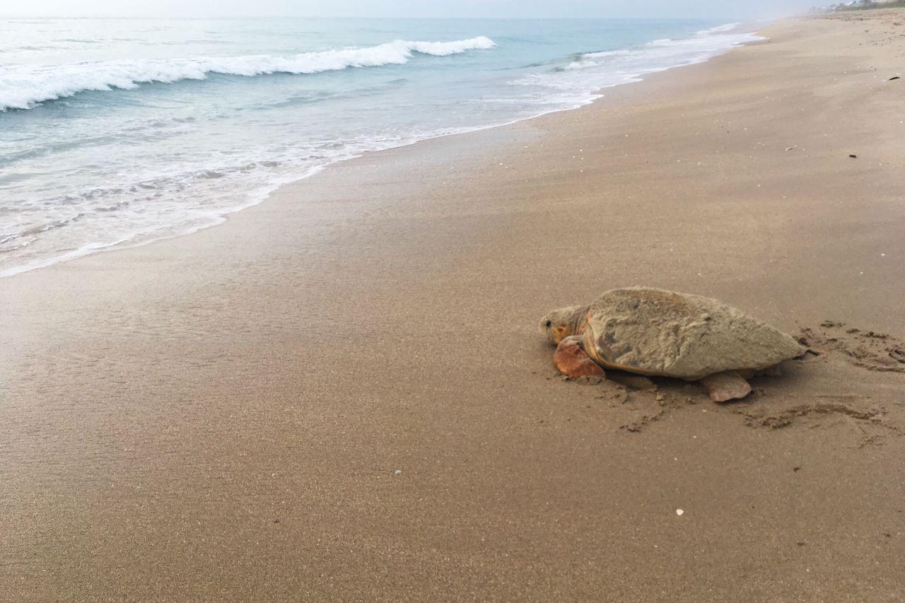 Meeresschildkröte Strand Florida