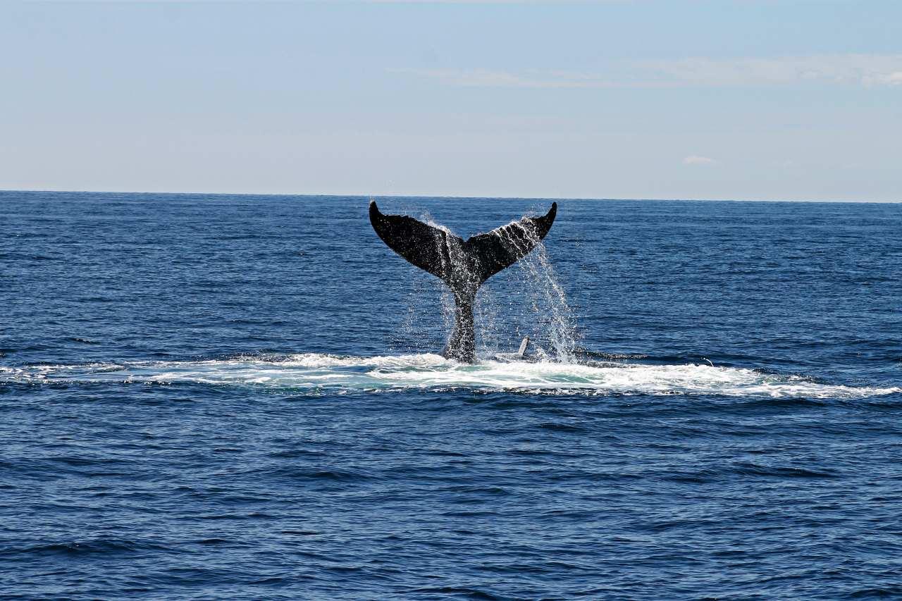 Walbeobachtung vor Puerto Rico