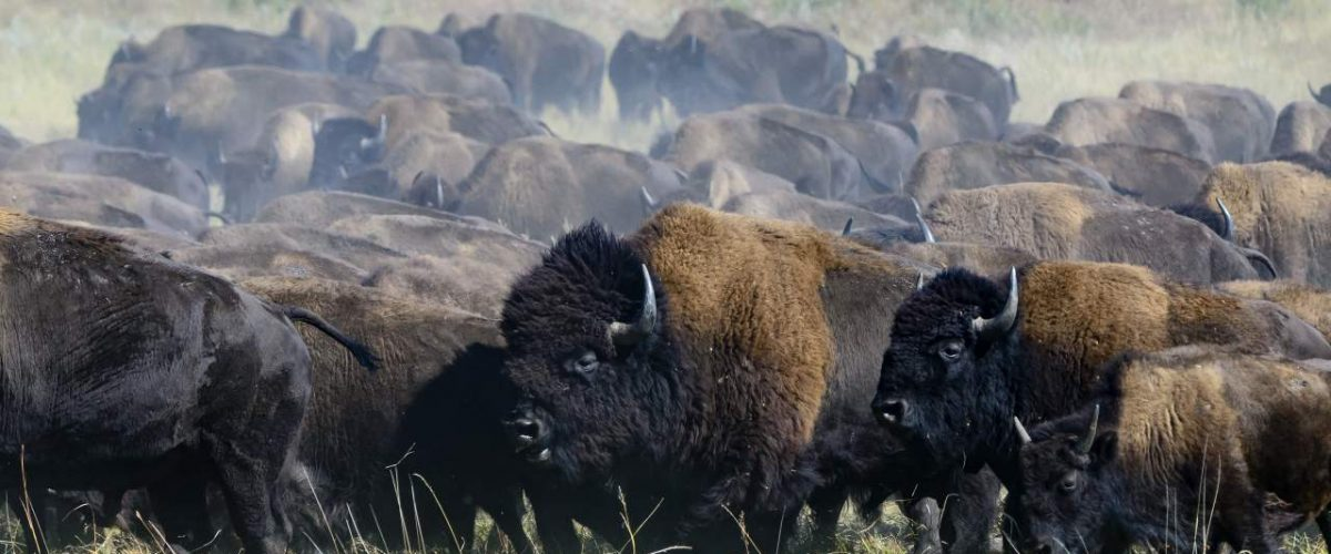 Bisonherde in South Dakota