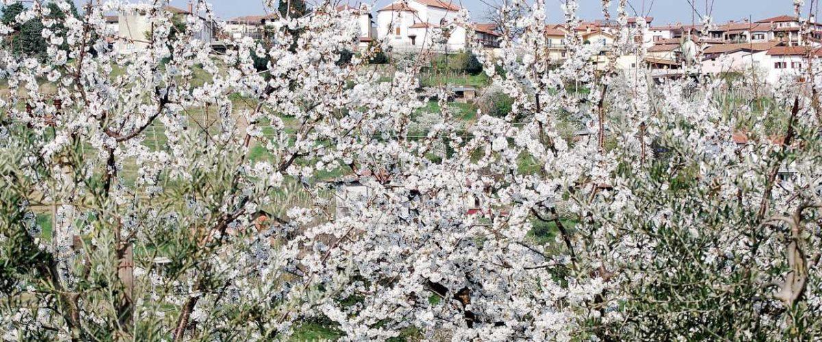Farbenpracht der Kirschblüten im Collio