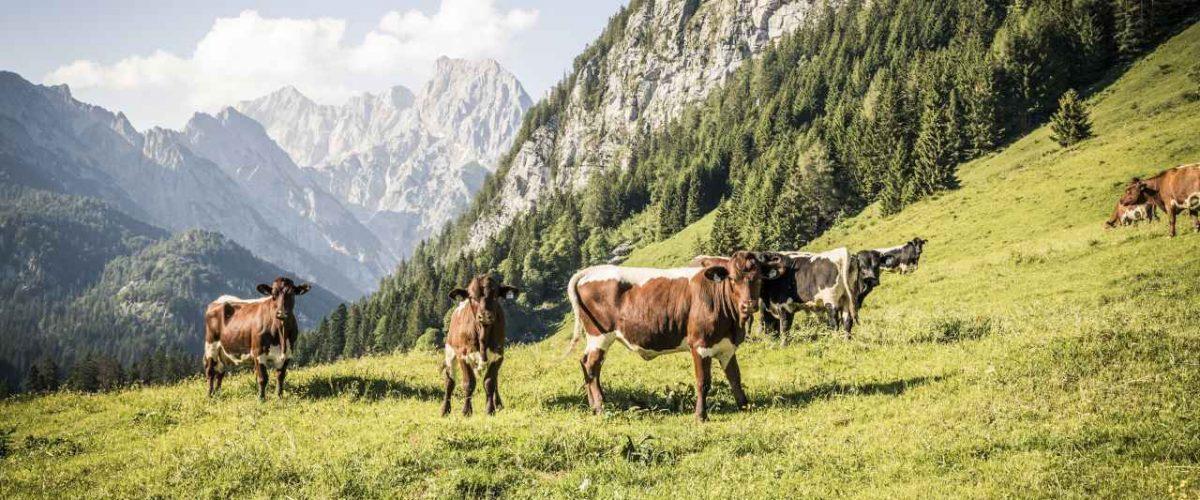 Kühe Kammerlingalm Berchtesgaden