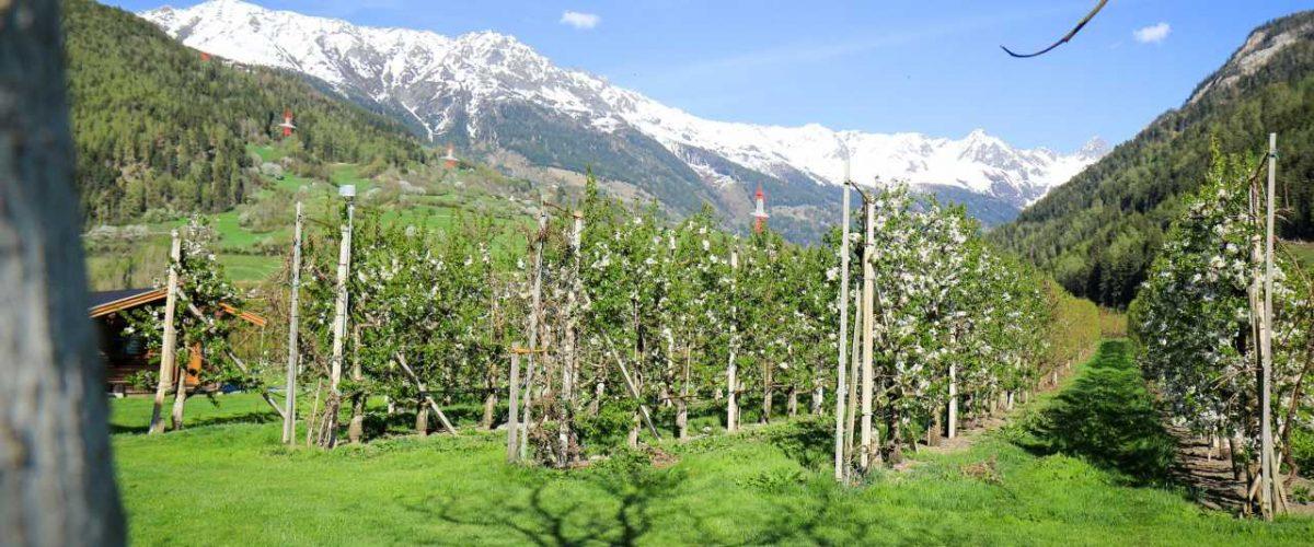 Marillen-Plantage Tiroler Oberland
