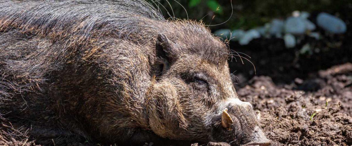 Philippinisches Pustelschwein