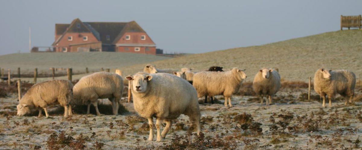 Schafherde Nordstrand Winter