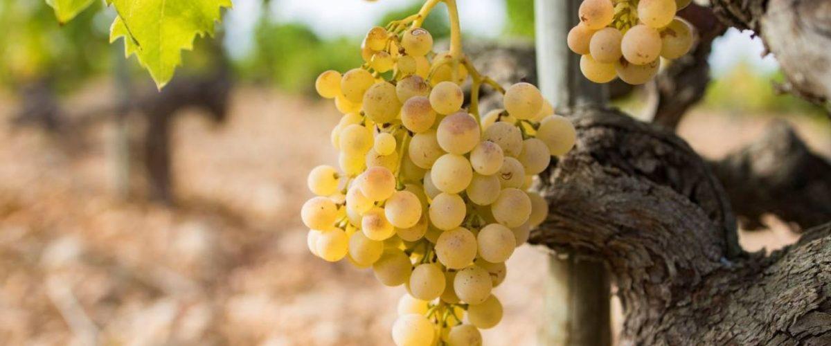 Weinstock weiße Trauben Mallorca